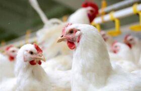 چالشهای توزیع و تأمین خوراک مرغداریهای کشور